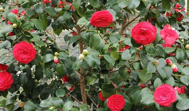 Talea semilegnosa idee green for Pianta camelia