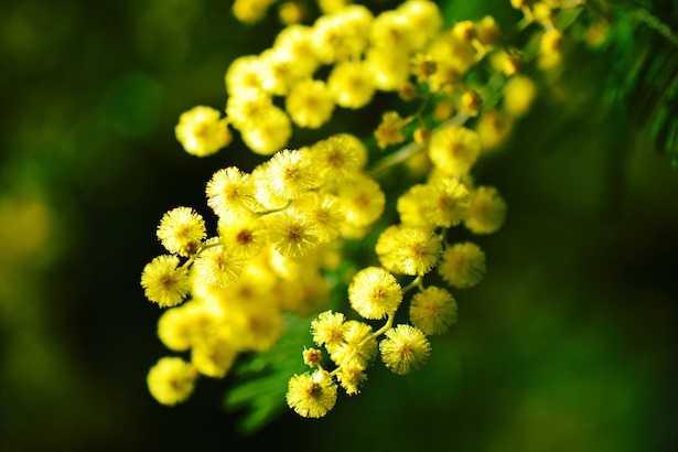 albero di mimosa pianta fiore