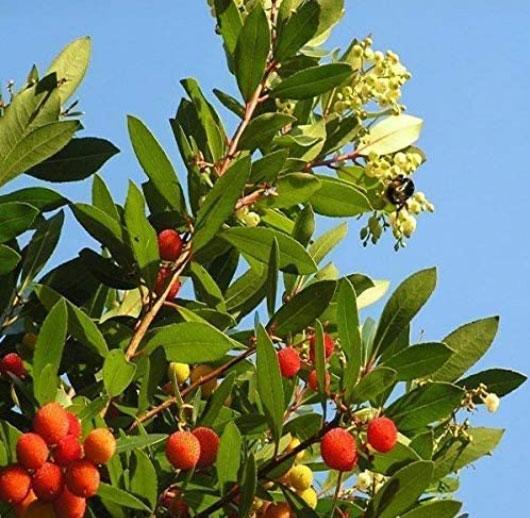 pianta di corbezzolo con frutti