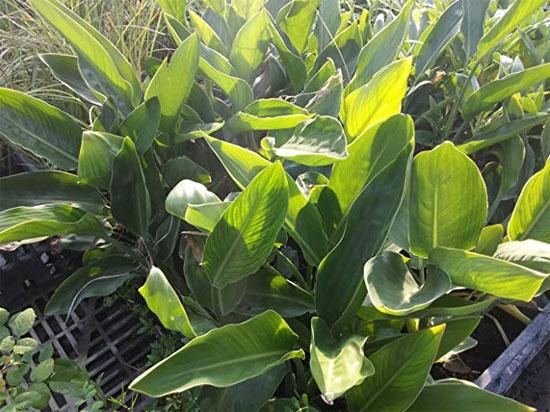piante di strelizia