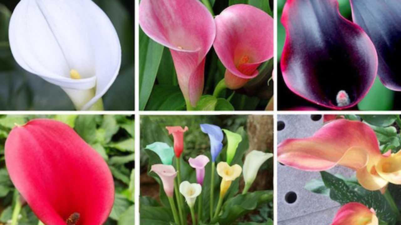 Quali Bulbi Piantare In Primavera come piantare le calle - idee green