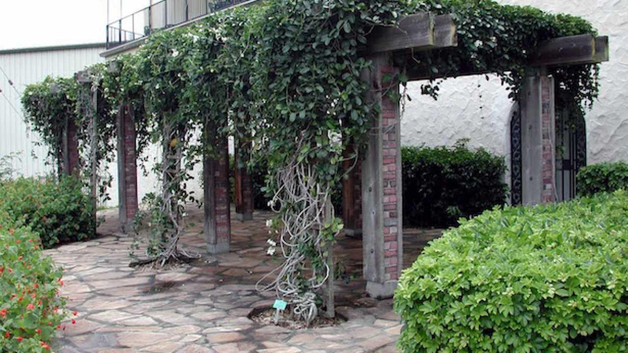 Tutori Per Rose Rampicanti rampicanti per pergolati - idee green