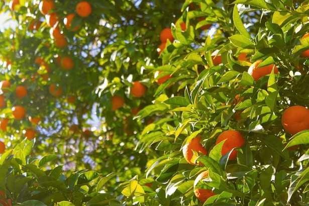 agrumeto arance