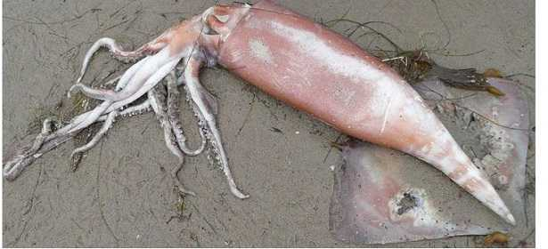 Calamaro di Humboldt