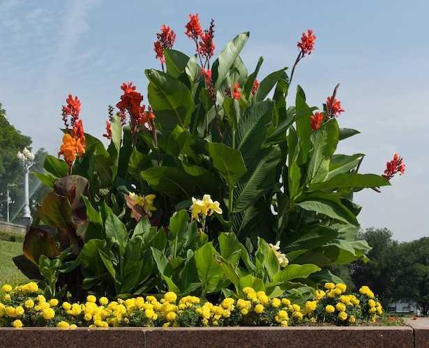 Come coltivare la canna indica in vaso o in giardino