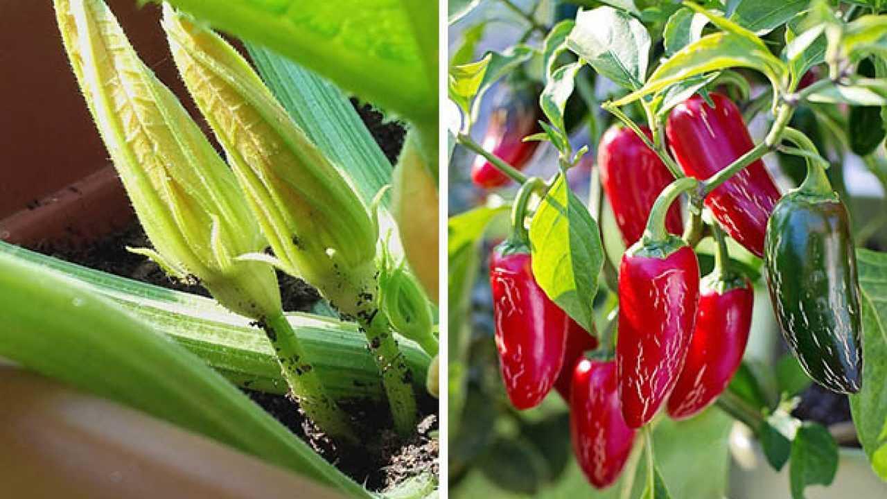 Coltivare Piselli In Vaso come coltivare ortaggi in vaso - idee green