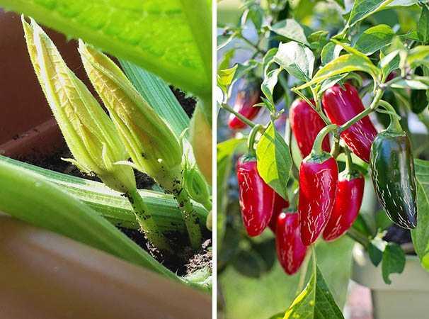 coltivare ortaggi in vaso