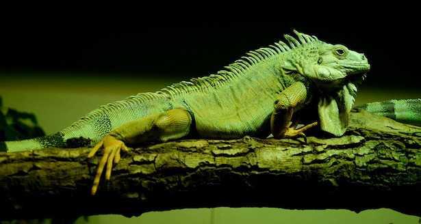 come allevare un iguana