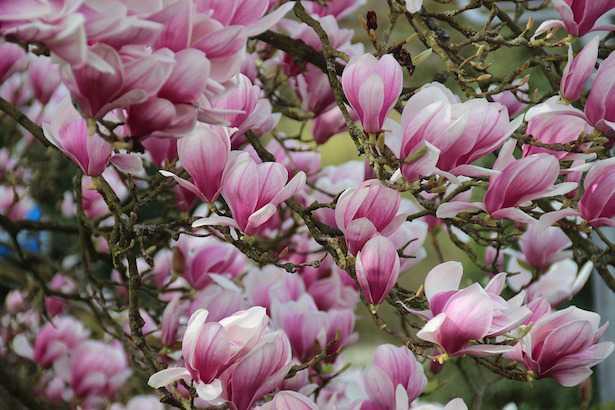 come coltivare magnolia cura potatura