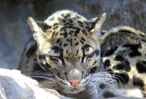 Felino asiatico con magnifica pelliccia