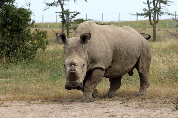 morto l'ultimo rinoceronte bianco settentrionale