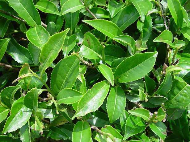 pianta del tè coltivazione