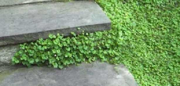 Piante striscianti per bordure idee green for Arbusti per aiuole
