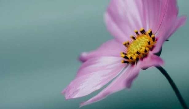 Pistillo del fiore