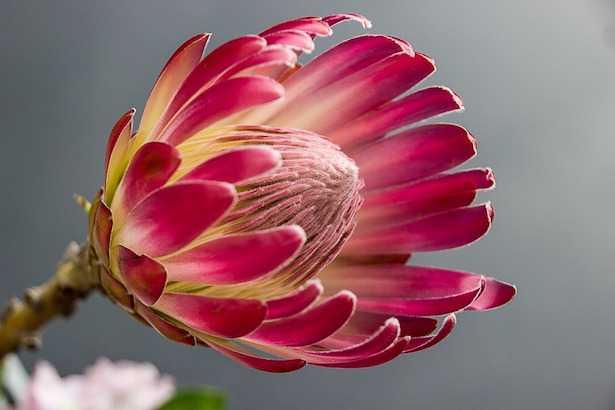 protea fiore da recidere