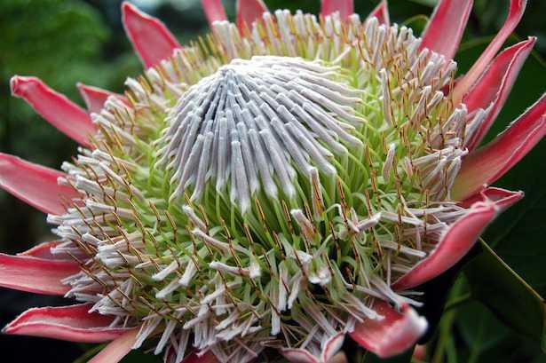 protea pianta coltivazione