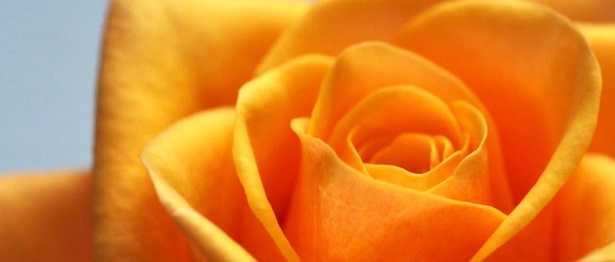 Rose da interno: terriccio
