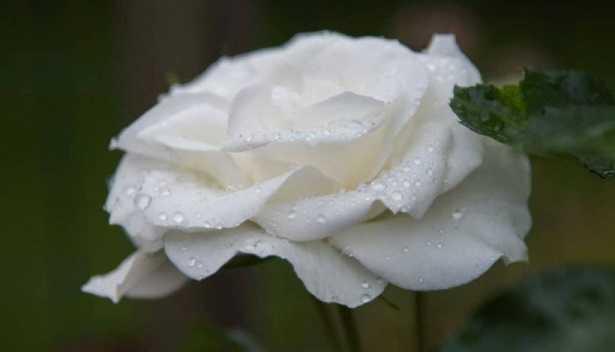 Rose da taglio: varietà