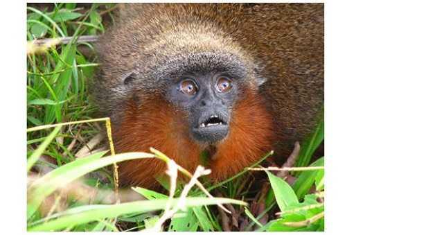 Scimmia del Brasile