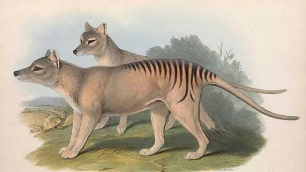 Tigre della Tasmania: avvistamenti