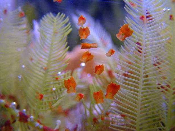 Come eliminare le planarie in acquario marino