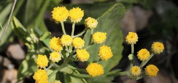 Tanacetum balsamita: proprietà