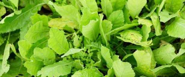 Tanacetum balsamita: pianta