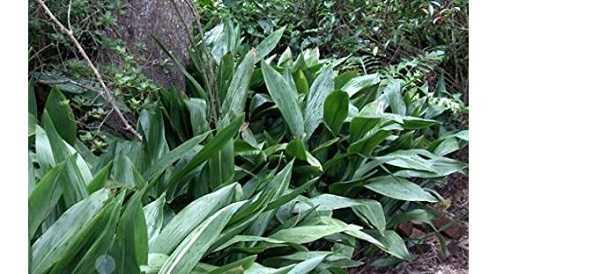 Aspidistra: foglie gialle