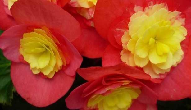 Begonia: fiore