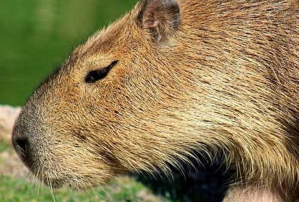 Capibara: caratteristiche