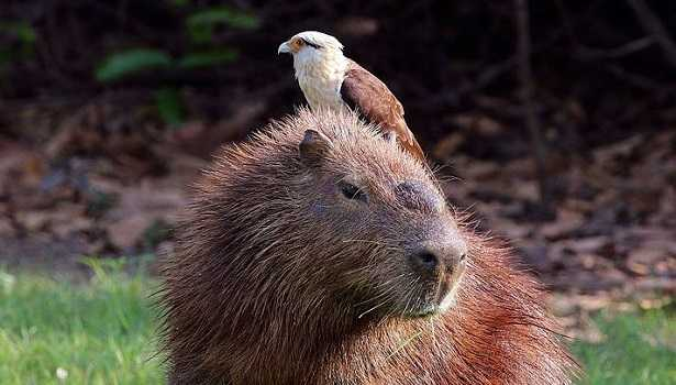 Capibara: foto
