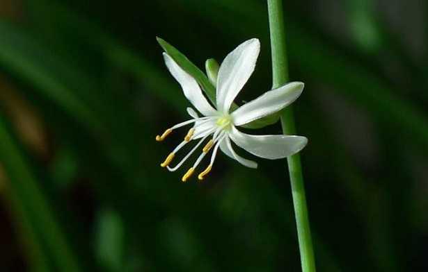 Chlorophytum Comosum o nastrino