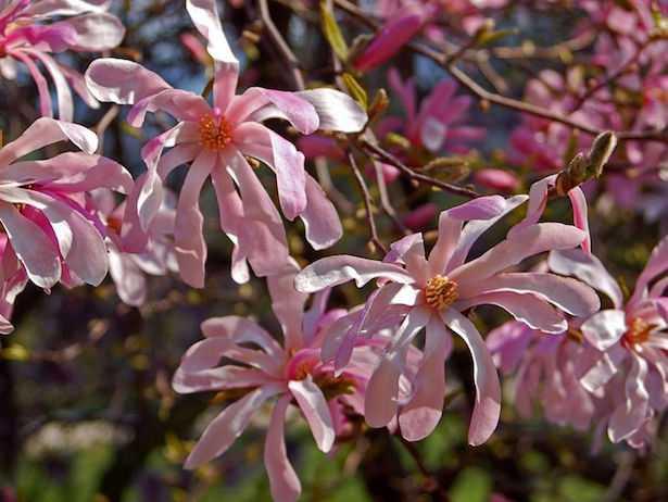 coltivare magnolia stellata