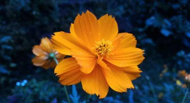 Corolla del fiore