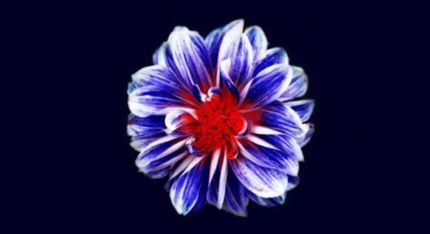 Corolla del fiore: foto