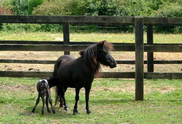 falabella cavallo in miniatura