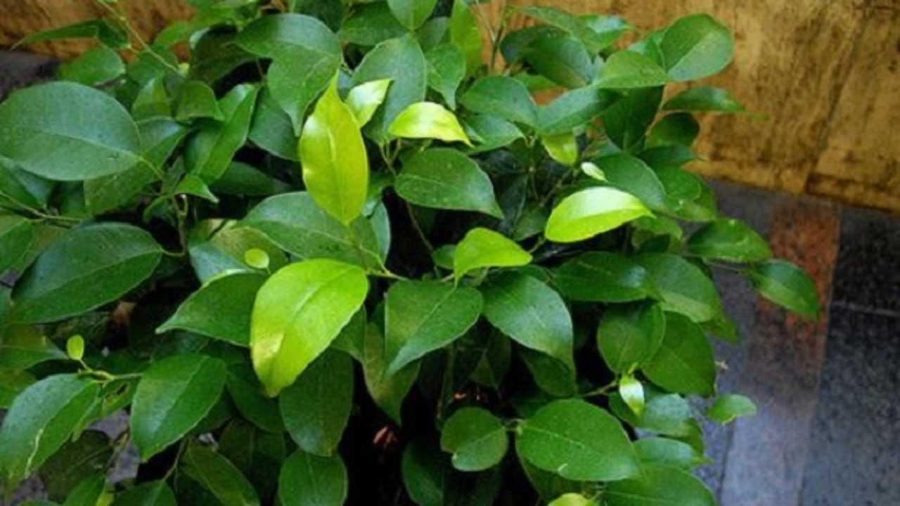 Cura Del Ficus Benjamin ficus benjamina: bonsai - idee green