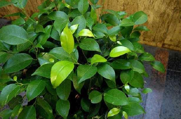 Ficus Benjamina: potatura