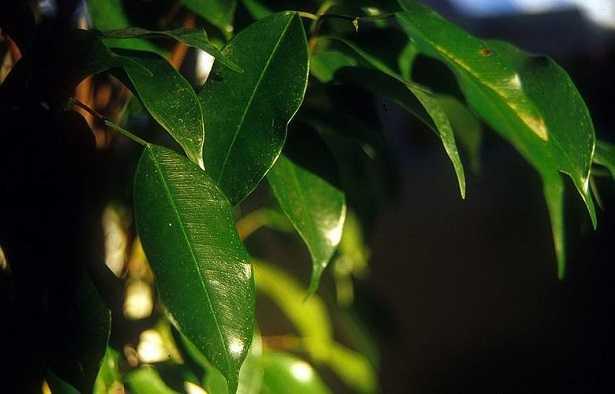 Ficus Benjamina: cura
