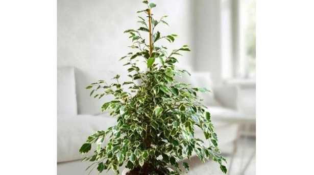 Ficus Benjamina: prezzo