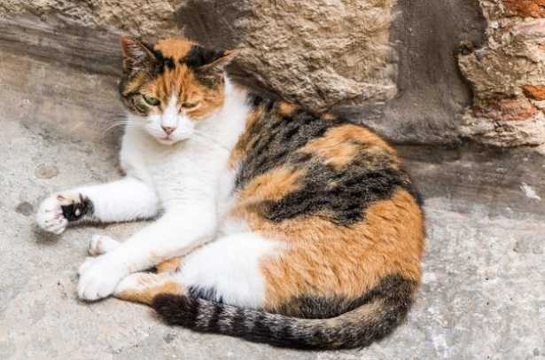 Gatto calico persiano