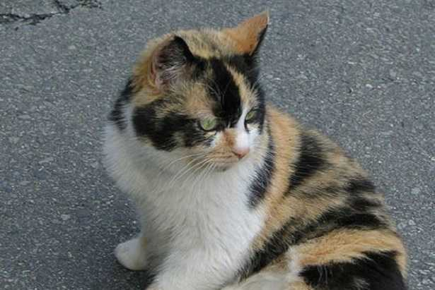 Gatto calico femmina