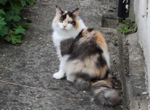 Gatto calico torbie