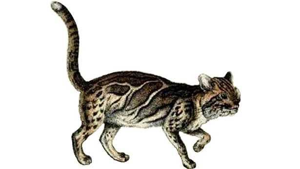 Gatto marmorizzato: varietà