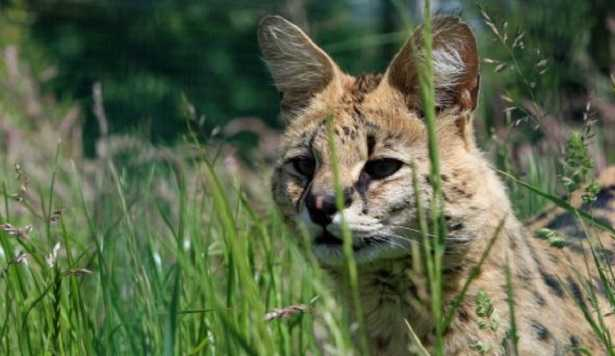 Gatto Serval e Savannah