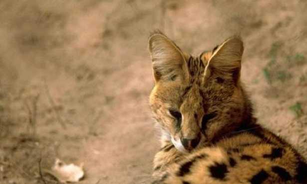 Gatto Serval