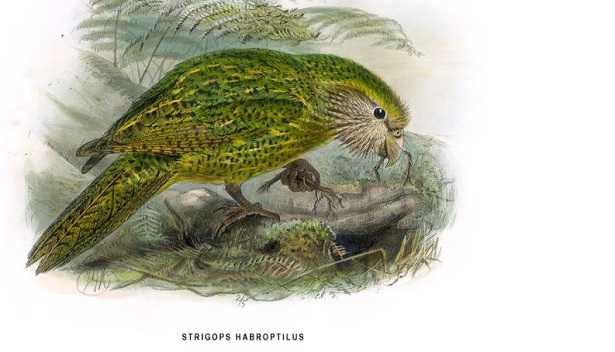 Kakapo: pappagallo