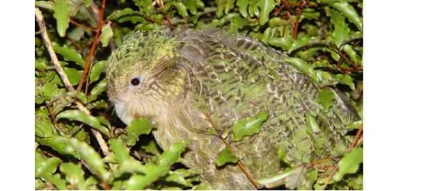 Kakapo: Nuova Zelanda