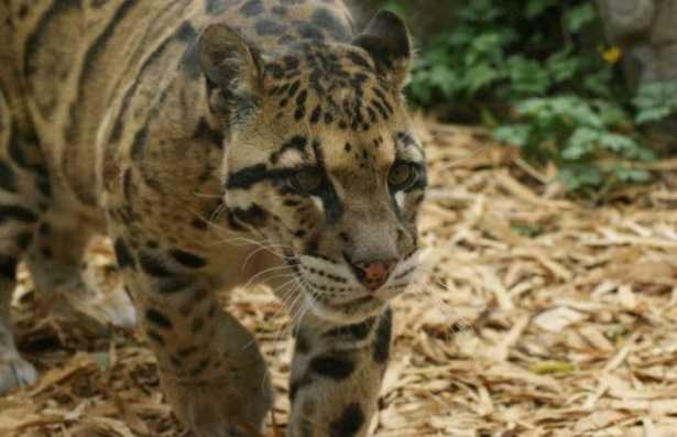 Leopardo nebuloso di Formosa
