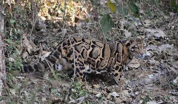 Leopardo nebuloso: cucciolo